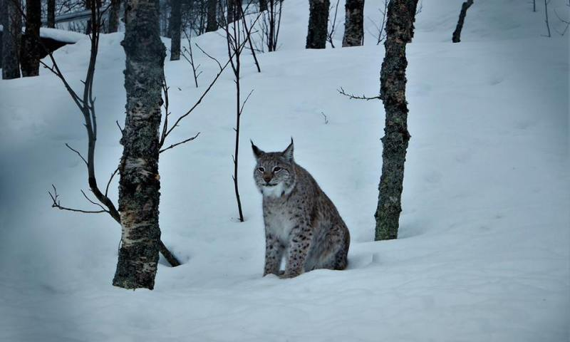 Lince Boreal, qué hacer en Noruega Ártica