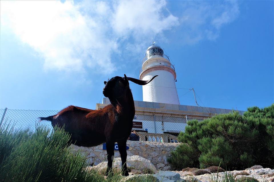 Cabra en el faro de Cap Formentor