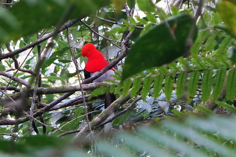 El gallito de Roca Andino, pájaros que ver en Cali