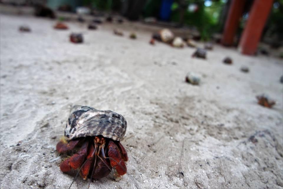 Cangrejos ermitaños, isla Contoy