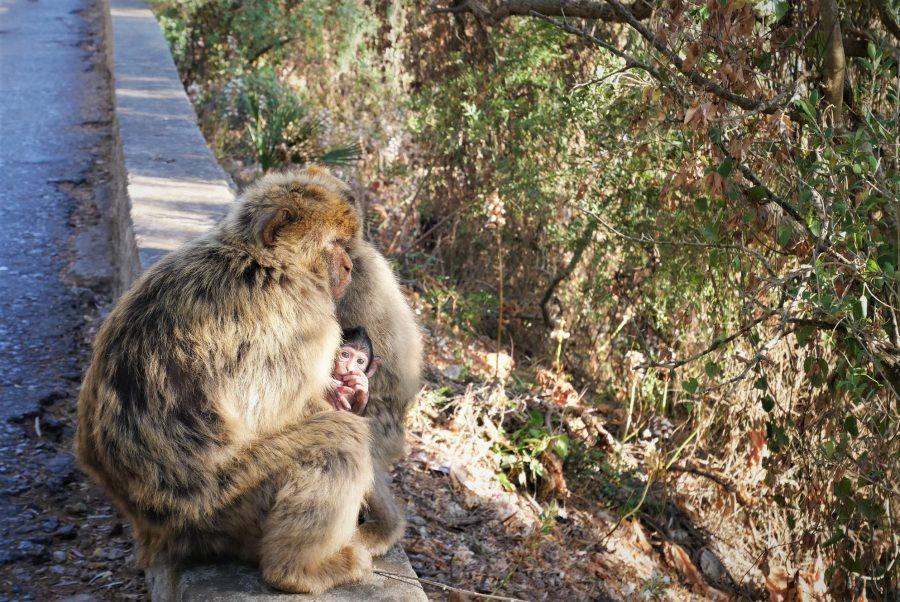 Monos de Gibraltar, qué visitar en Gibraltar