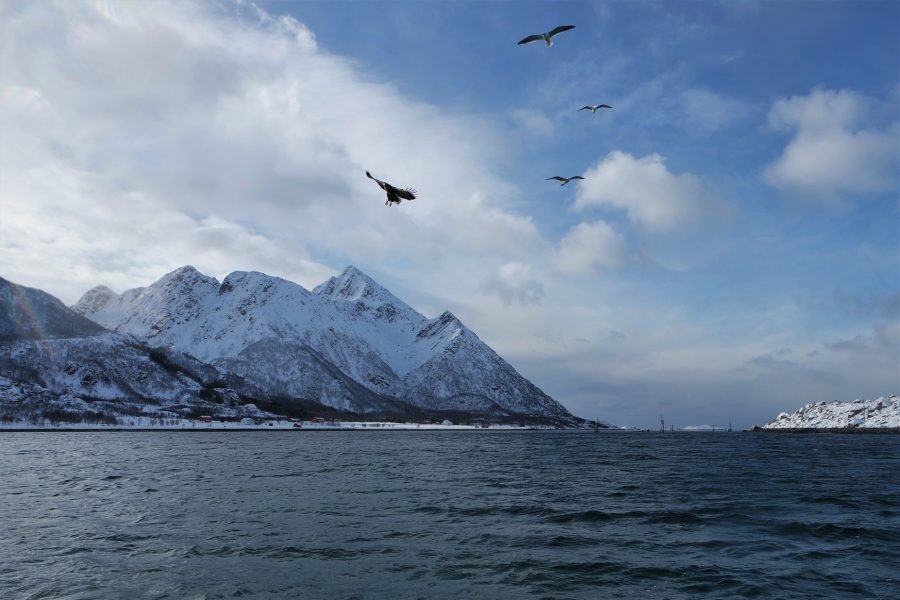 Águila marina y gaviotas en las islas Lofoten