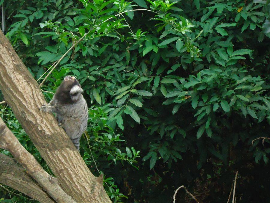 Mono sawi en Río de Janeiro