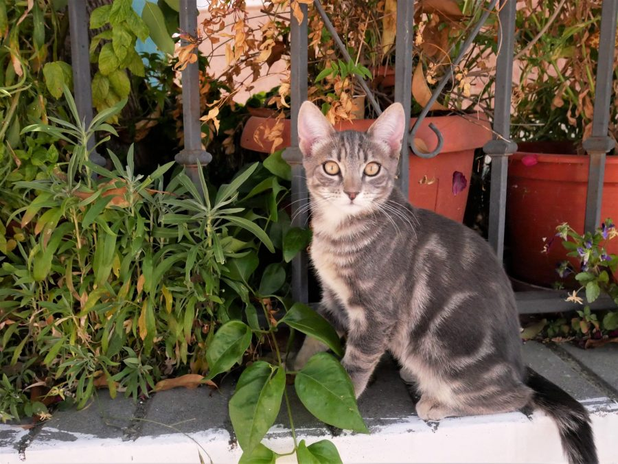 Gato granaíno