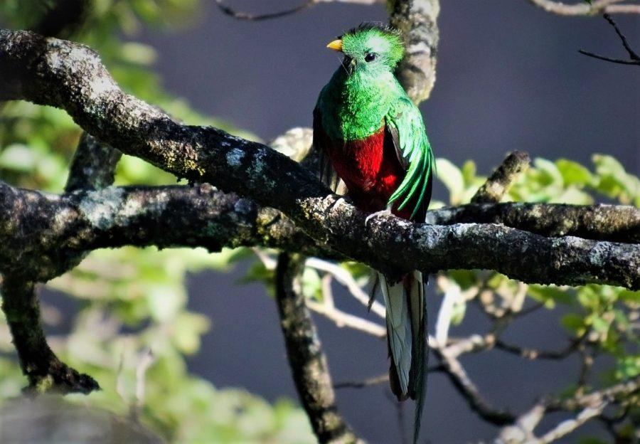 Quetzal de cola larga