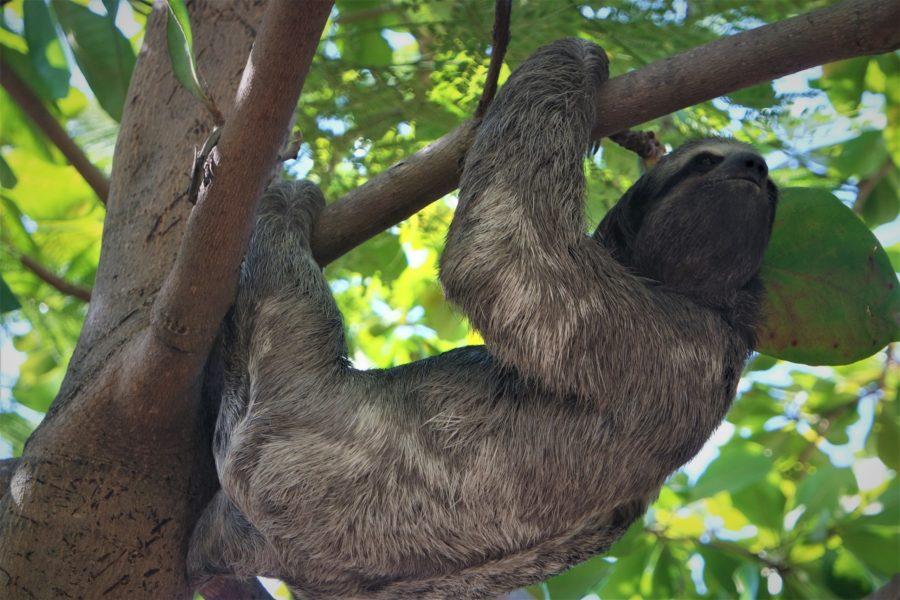 Osa perezosa, qué ver en Panamá