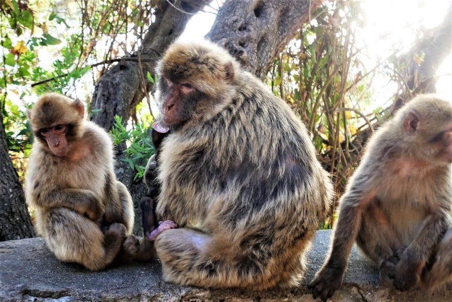 Familia de macacos en Gibraltar