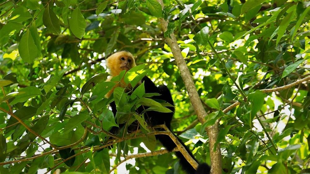 Mono cara blanca en Costa Rica