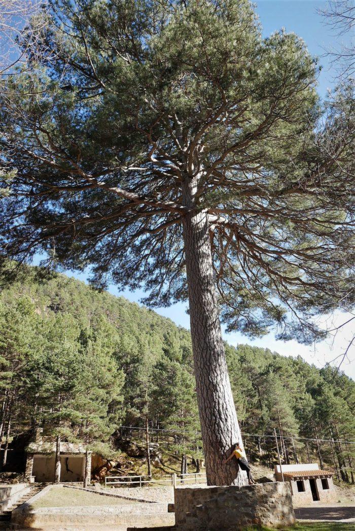 El Escobón, pino centenario