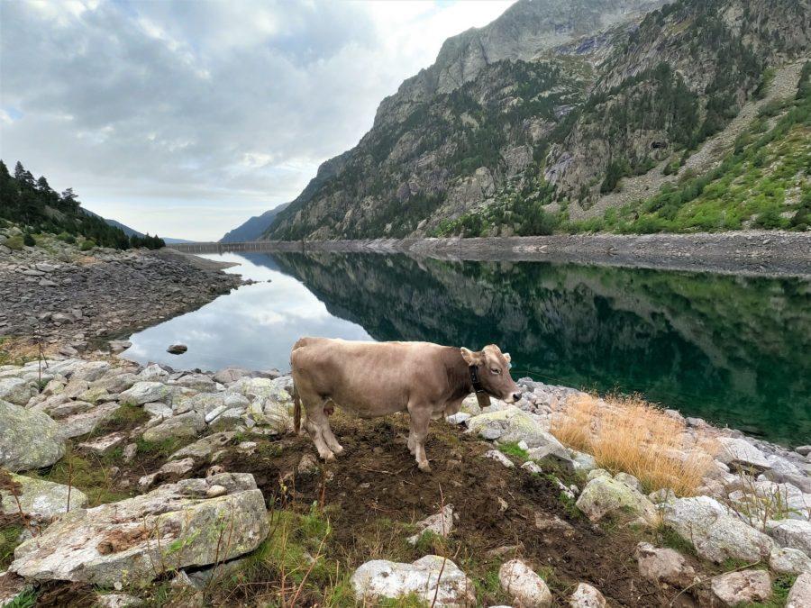Vaca en la presa de Cavallers