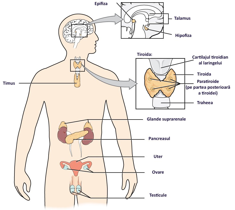 Cum acționează hormonii asupra glicemiei tale ?