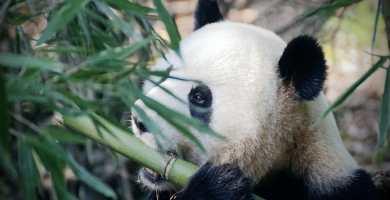 Soñar con bambú