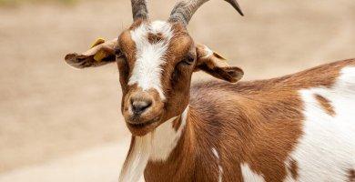 soñar con cabra