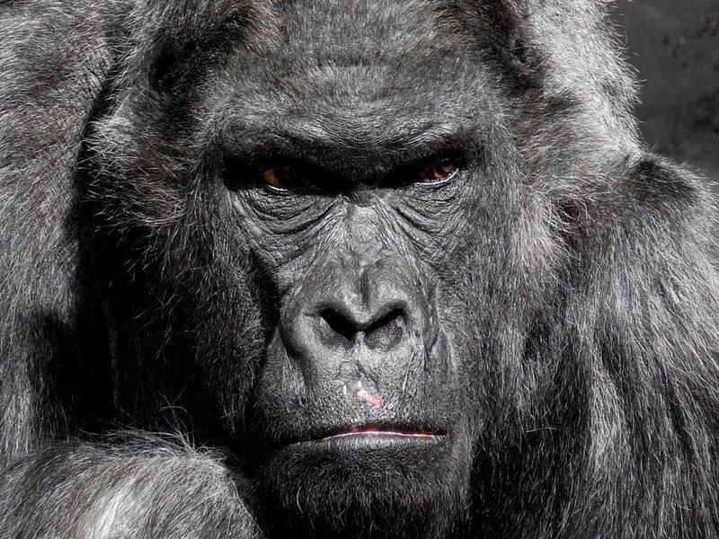 soñar con gorila