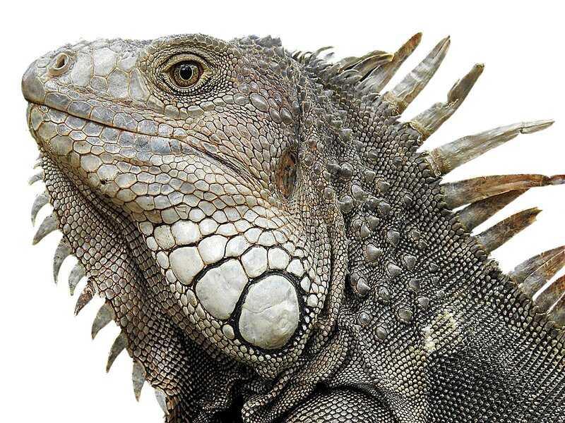 soñar con iguana