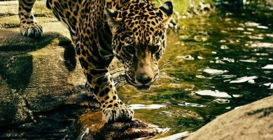 soñar con leopardo