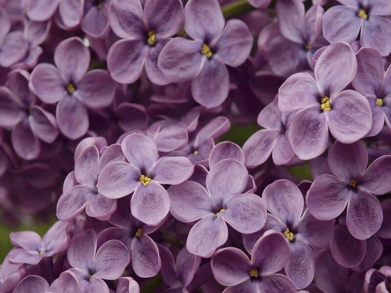 soñar con lilas