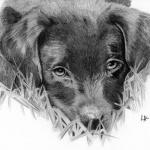 Ziggy Labrador Puppy Lac Studio