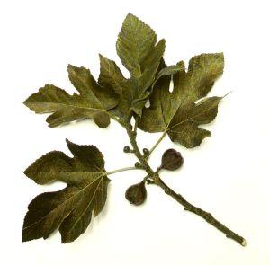 Fig_tree_leaves