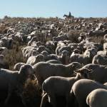 Sheep on the Red Desert