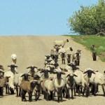 The blackface sheep move to summer quarters