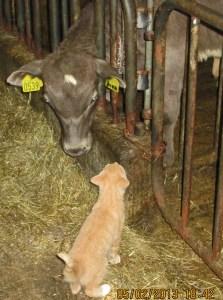 Idelandic cat and cow