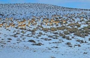 antelope in sage
