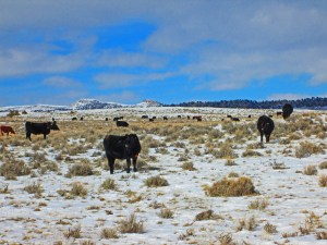 winter heifers