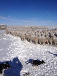 Border collies at work
