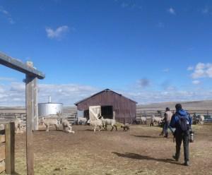 Allen, videographer, tracks Oscar tending he ewes and lambs.
