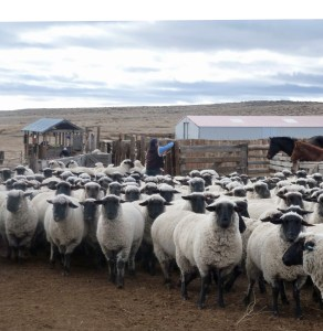blackface ewes waiting for the blade