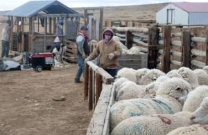 Meghan and Oscar bringing up the unshorn ewes