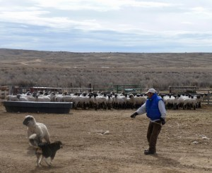 Time ropes the escaped wooly ewe