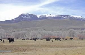 Cows and calves under Battle Mountain