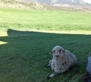 Here's Dunkin taking a break from his busy schedule of hanging out with the 4-H lambs.