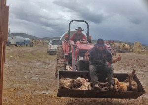 Brittany, all-around ranch hand, bringing ewes and lambs in from the corral.