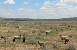 March lambs at Powder Flat