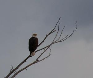 Bald eagle over Battle Creek photo by Steve Smith