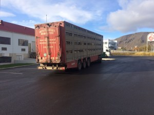 This is a sheep truck at a processing plant in Selfoss.