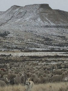 ewes near Ace in the Hole