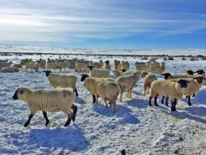The ewes waiting for hay
