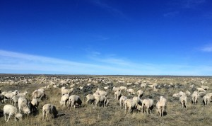 The sheep are ready to leave winter pasture on the Red Desert
