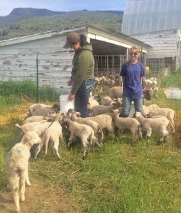 Sam and Siobhan feed the plethora of bum lambs