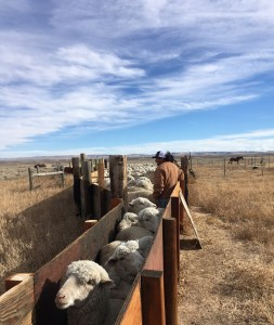 Bringing the ewes up the chute