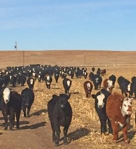 Heifers on feed in Nebraska