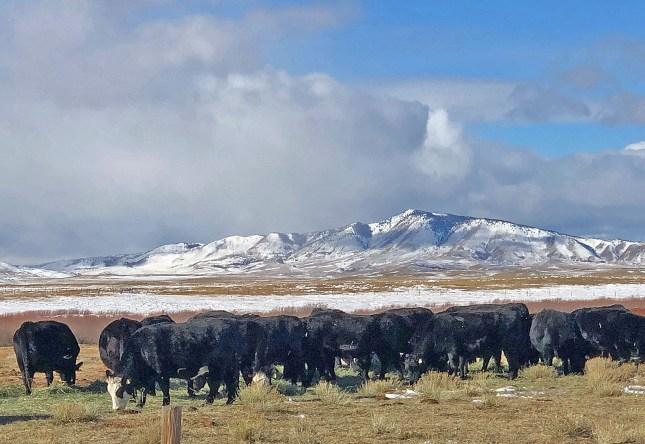 January heifers in NB