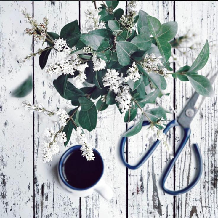 ciseaux jardinier et lilas