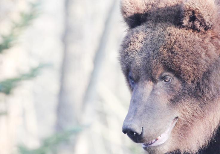 zoom ours grizzly yukon lodge hotel la délicate parenthèse