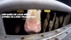 200410 - Capture d'écran vidéo Le transport des veaux Irlande France Pays-Bas by L214 02 - La Déviation