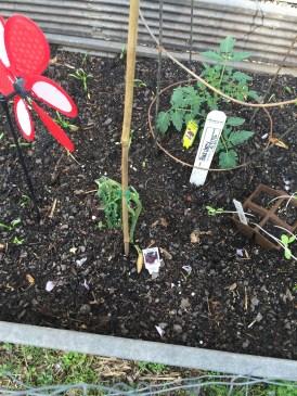 tomato heirloom dog spinach borage raised bed georgia garden